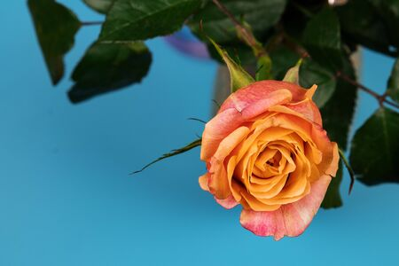 Pink-yellow tea rose with bright green leaves on a blue background in a vase. View from above. Stock Photo
