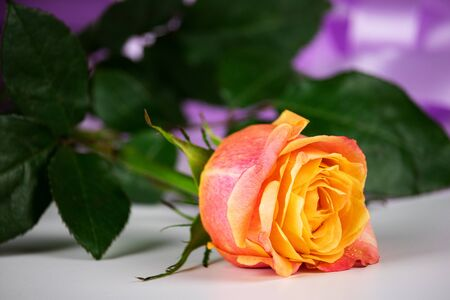 On a table with a white background lies a beautiful tea rose. In the background is a purple ribbon for gifts.