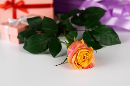 Against the background of multi-colored gift boxes tied with ribbons, lies a tea rose. The background is white. Stock Photo