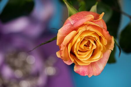 Photo top view. Bud of a magnificent rose on a violet-blue background with a boke. Stock Photo