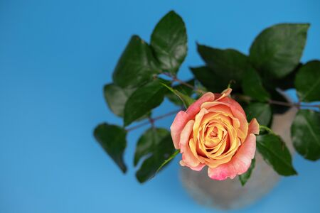 Pink-yellow tea rose with bright green leaves on a blue background. Photo top view. Stock Photo