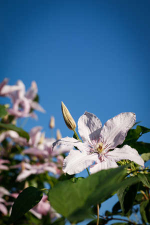 The concept of a greeting card. Clematis light-lilac color close-up with undisclosed buds against the blue sky. The vertical orientation of the photo.
