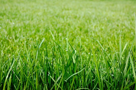 Uncut green grass with drops of dew