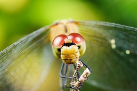 Head dragonfly. Blurred natural background, close-up, macro. photo