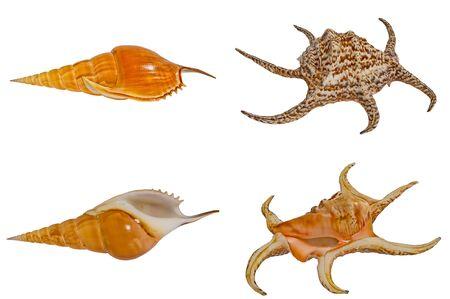 tibia: Sea shells set Harpago Tibia.