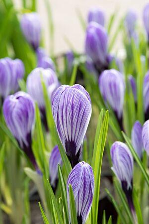 Flower purple crocus sunlight lighting a soft background. Shallow DOF