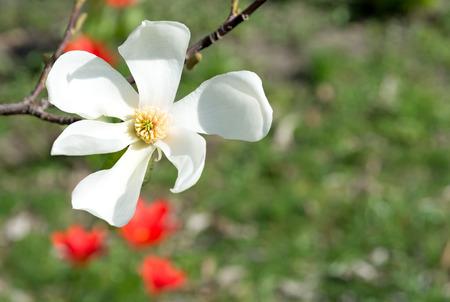 White magnolia flower on blurred natural background.