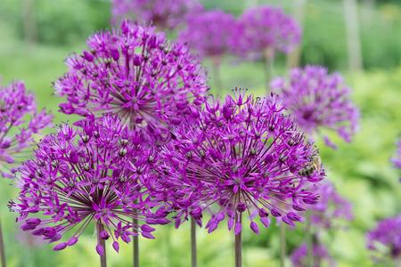 Allium Purple flowers onion on blurred natural background closeup. Zdjęcie Seryjne