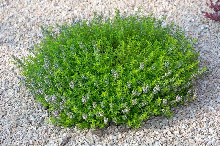 Small green bush with blue flowers on a light stone. Element of landscape design.