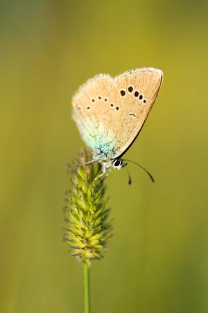 Butterfly on a stalk of grass blurred background close up. Zdjęcie Seryjne