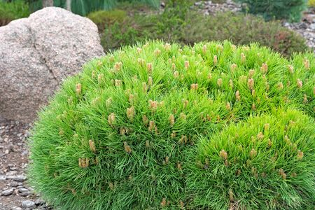 Dwarf Pine and stone in blurred background. Landscaping element.