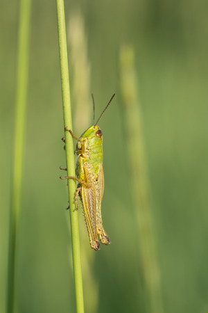 The green grasshopper sits on a stalk of grass. Blurring background.