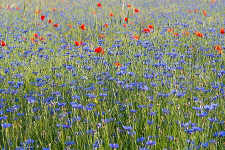 Field with cornflowers and red poppies. Photographed on a bright sunny day. Zdjęcie Seryjne