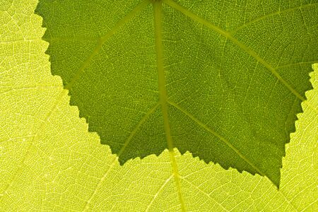 Fragment a green grape leaf with shadow on the second leaf.