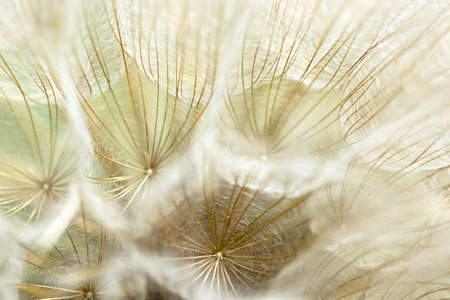 Fluffy dandelion seeds closeup. Fragment seed heads.