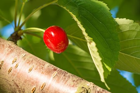 Sweet cherry on a branch on a background of green leaves.
