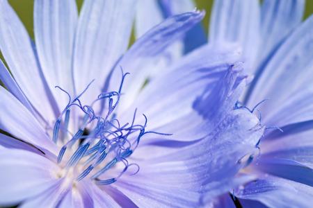 Flower chicory close-up on a green background. Zdjęcie Seryjne