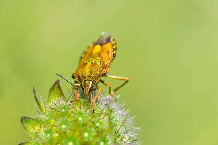 green shield bug: Yellow shield bug on fluffy flower close-up. Blurred green background. Stock Photo