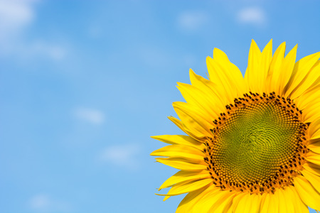 Sunflower close-up on a background of blue sky and clouds. Zdjęcie Seryjne