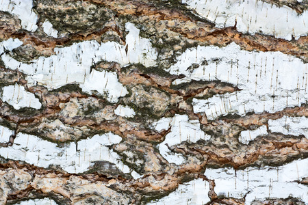 The bark of an old birch tree close up.