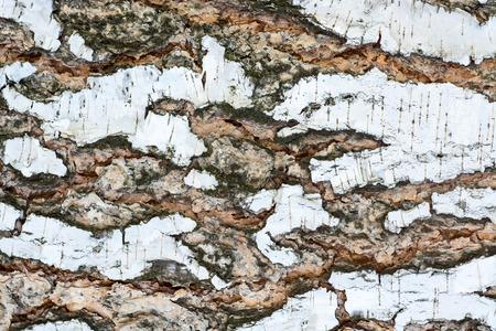 The bark of an old birch tree close up. Zdjęcie Seryjne - 43772072