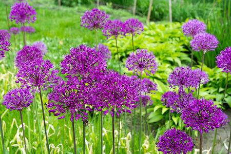 Allium Purple flowers (onion) on blurred natural background.