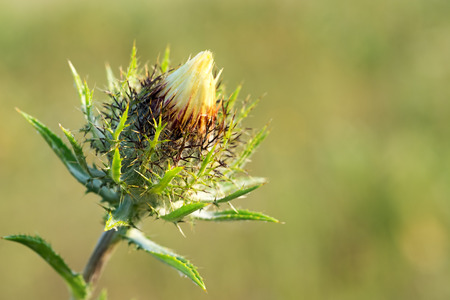 Bud Carline thistle (Carlina vulgaris) on a blurred background. Close-up.