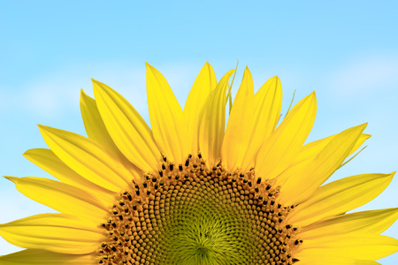 Sunflower close-up on a background of blue sky.