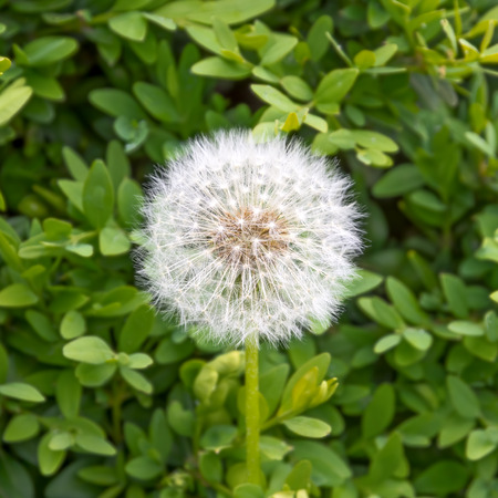 Dandelion on a blurred background of green leaves. Close-up. Standard-Bild