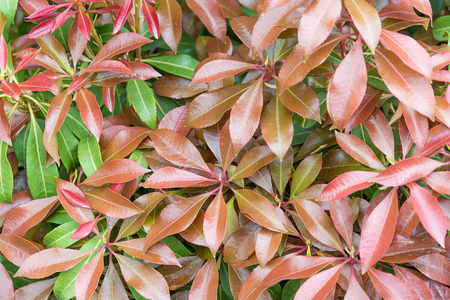 Background of glossy green and red leaf. Close-up.