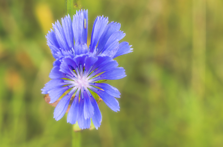 Flower of chicory close up on blurred green background.