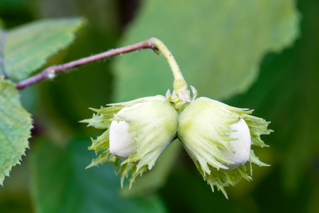 Two hazelnuts on a branch close-up on a blurred green background. Zdjęcie Seryjne - 50881958