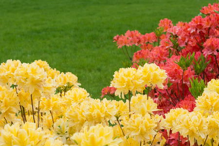 Yellow and red rhododendrons against a background of green grass. Standard-Bild