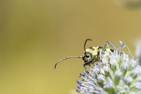 Yellow black beetle sitting on a flower. Blurred natural background. close-up. Zdjęcie Seryjne - 51631997