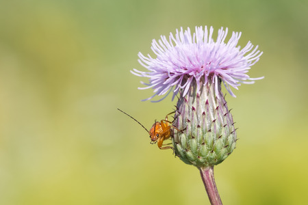 Red soldier beetle (Rhagonycha fulva) on a flower thistle close-up. Blurring background.