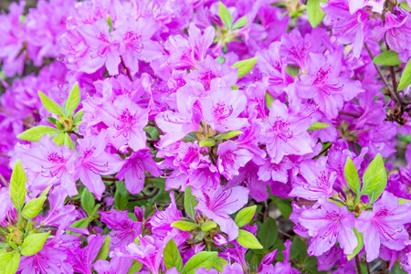 Beautiful blooming violet rhododendron bush with green leaves. Close-up.