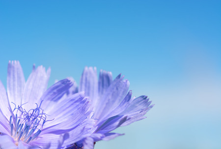 Flower chicory on the background of bright blue sky. Close-up Zdjęcie Seryjne - 69106321