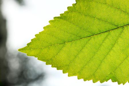Fragment a green leaf, backlit on a blurred background close-up.