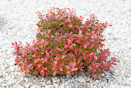 Small bush with green and red leaves on a background of bright pebbles. Element of landscape design. Standard-Bild