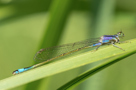 Blue dragonfly on blurred green background. Close-up.