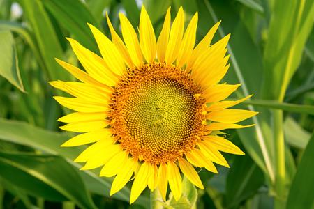 Sunflower on blurred green background. Close-up. Standard-Bild