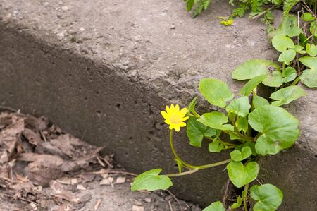 Little yellow flower on cement sidewalk. Ficaria verna, Ranunculus ficaria