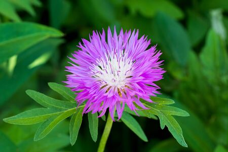 Macro photo of nature flower Centaurea dealbata. Green background.