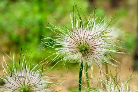 Closeup of feathery seeds of spring flower Pulsatilla vulgaris (dream of grass).