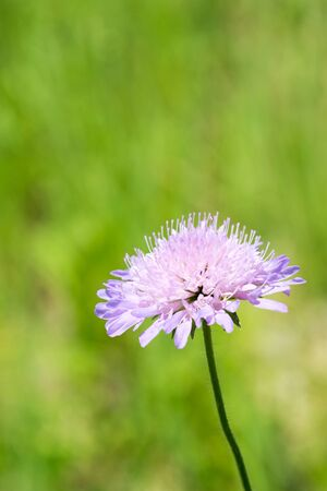 Flowers from Knautia arvensis on a wildflower meadow. Closeup. Zdjęcie Seryjne