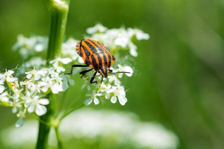 A bright bug Graphosoma lineatum on white wildflowers on a sunny day. Green blurred background. Zdjęcie Seryjne