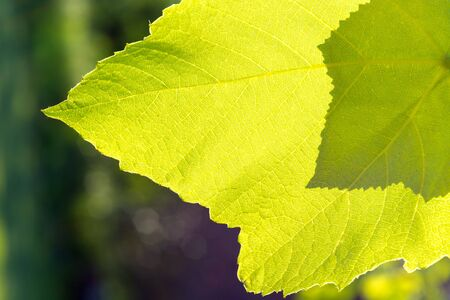 The sun shines through the green leaves of the grape. Shadow from the second leaf. Close-up.