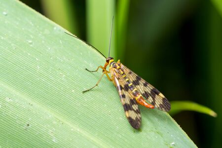 Scorpion Fly (Panorpa communis) sits on a green leaf. Macro photo. Zdjęcie Seryjne