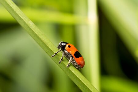 Red with black dots beetle on a green leaf. Blurred natural green background. Close-up.