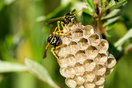 Two paper wasps at the nest. Blurred natural background. Close-up.